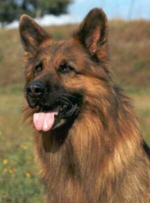 Jackie Lee the GSD played by Tyson Vom Barrett